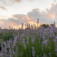Hill Country Lavender 200x200