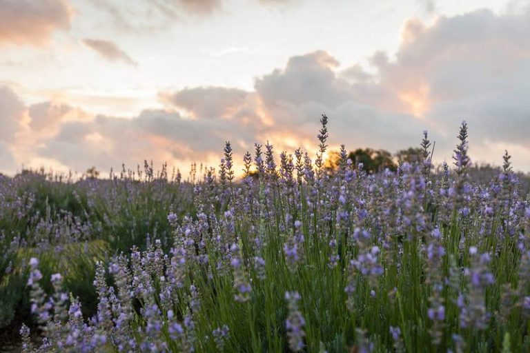Hill Country Lavender 768x512